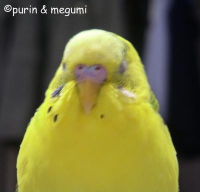 Purinnemu