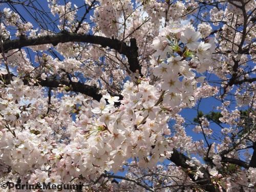 Sakura16040201